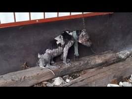 Sad Dog Was Chained Up So Tightly He Couldn't Lay Down To Sleep - YouTube