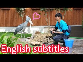 Shoebill's meal time with her favorite caretaker ☆full version 【Shoebill FUTABA in 2019 】Encore - YouTube